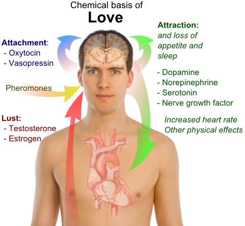 Chemical Basis Of Love
